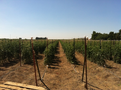 The tomato rows at Monsanto's farm. I wanted to frolic through them. But I restrained myself. Barely