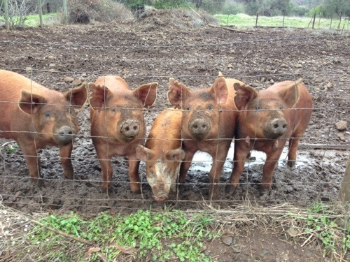 Happy pigs!