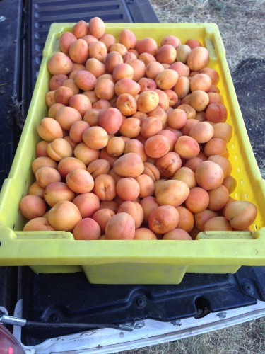 Aaron apricots! I spent a good two weeks processing these, it was dreamy!