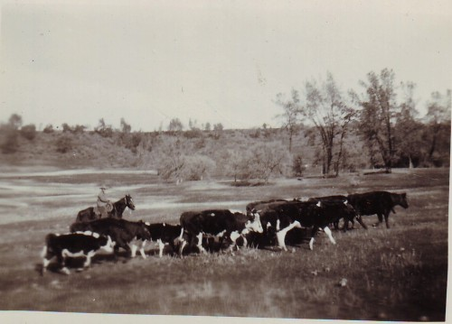 Harry Lutz Driving Cattle in Bidwell Park Jan 11, 1935