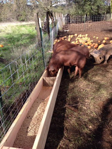 Heritage red wattle hogs eating cookies out of the new feeder my family built.